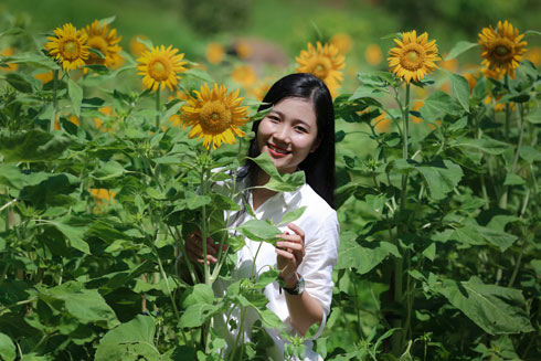 Sunflowers blooming in Yang Bay Tourist Park