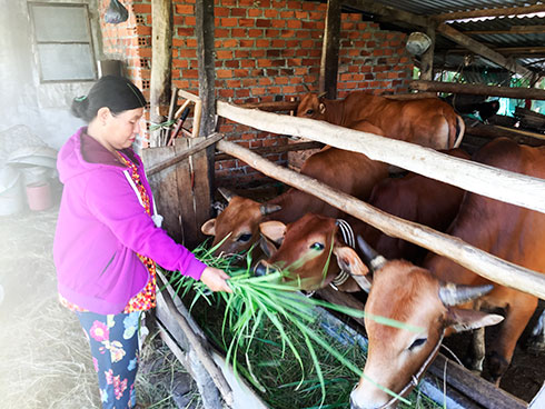 Xuan feeding cows