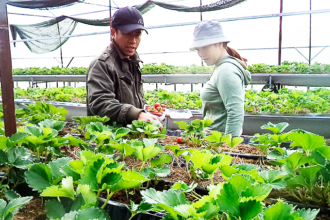 Positive results of strawberry planting model in Khanh Son District