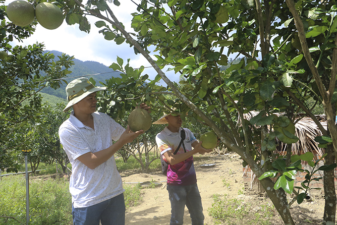 Improving quality of green-skin grapefruits