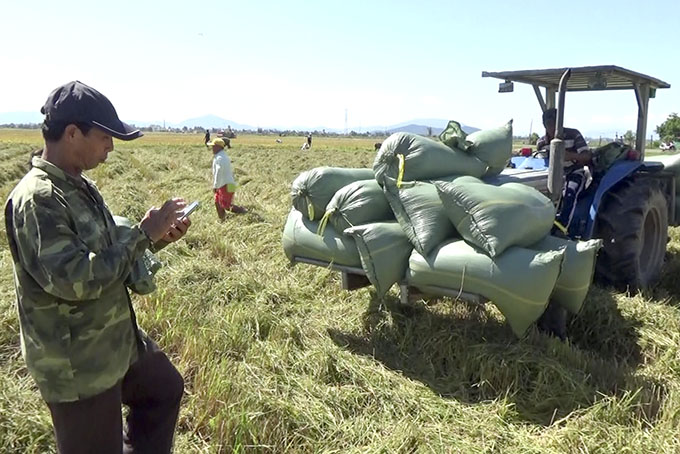 Van Ninh District: Bumper crop of rice