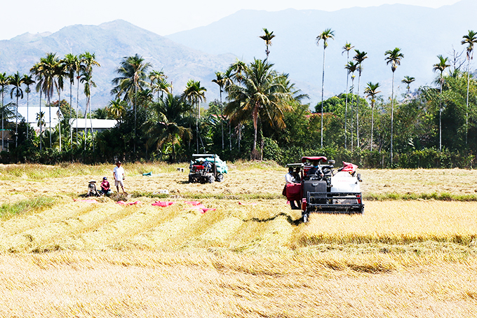 Khanh Hoa Province: Bumper crop of winter-spring rice