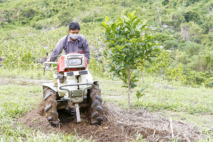 Farmers in Xuan Son Commune, Van Ninh District change to planting jackfruits on hill land