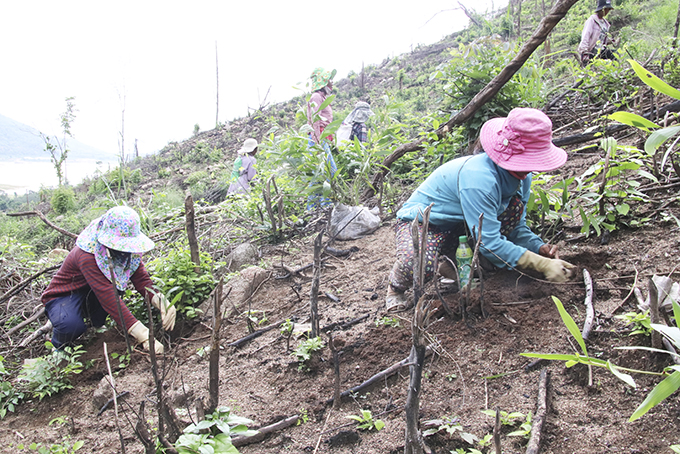 Khanh Hoa plants more than 1,285 hectares of forest