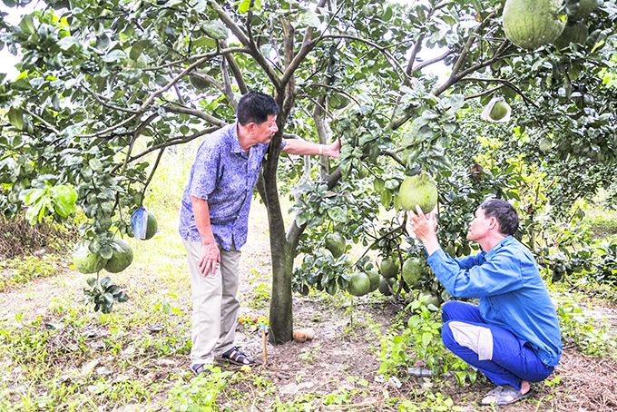 Khanh Vinh District: Bumper crop of grapefruits being expected