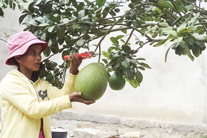 Supportive models for growing grapefruits and durians help farmers escape poverty