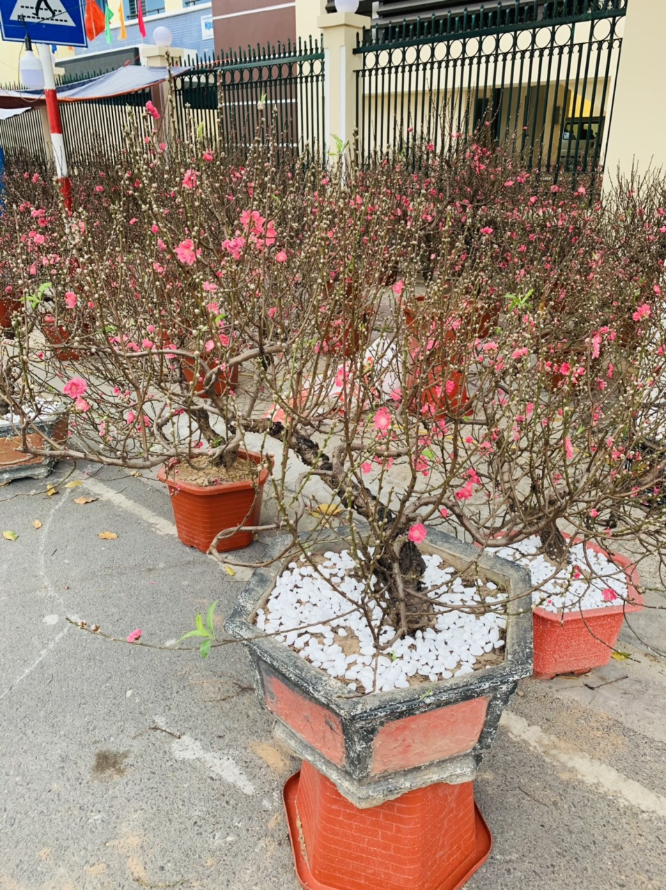 Peach blossom trees transported from northern region are being sold in Nha Trang